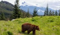 canada rockies bear