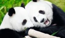 wendy wu panda PIXL