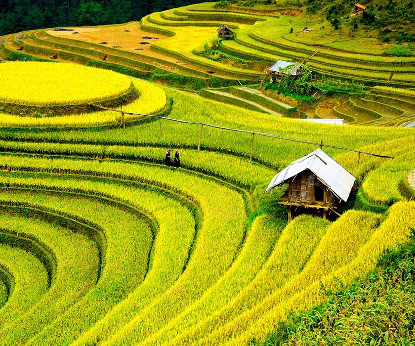 rice in vietnam