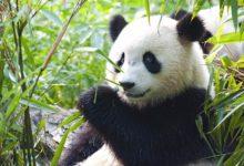 wendy wu tours panda discovery