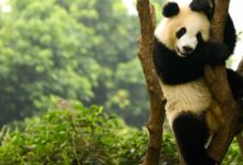 wendy wu tours in pursuit of pandas private