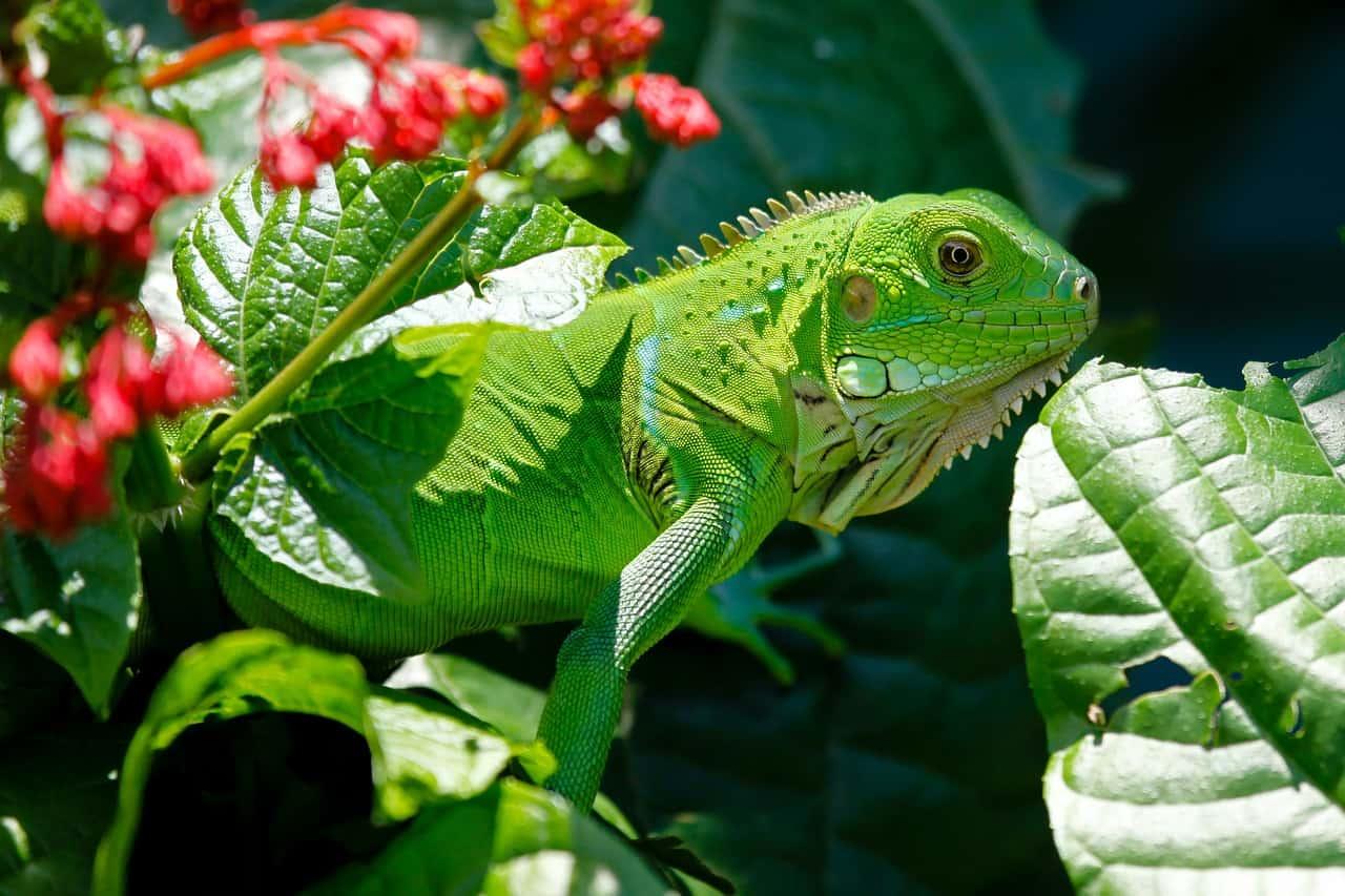Iguana, Balinese wildlife