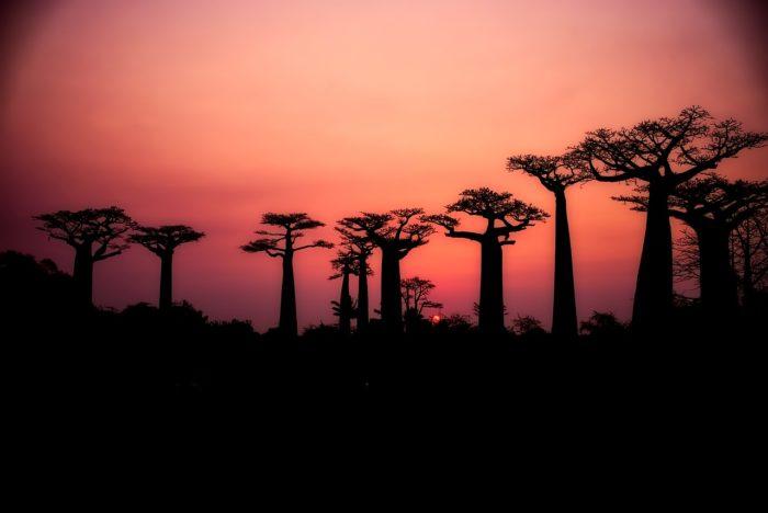 baoboa trees